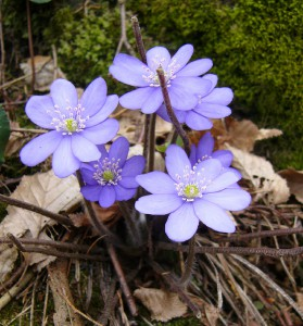 -hepatica_nobilis-list1.jpg