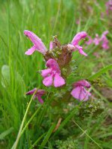 pedicularis_sylvatica-kvet.jpg